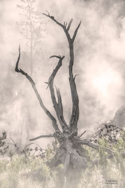 Ghost Snag Yellowstone, d'Ellis Photographic Art photographs, Bill