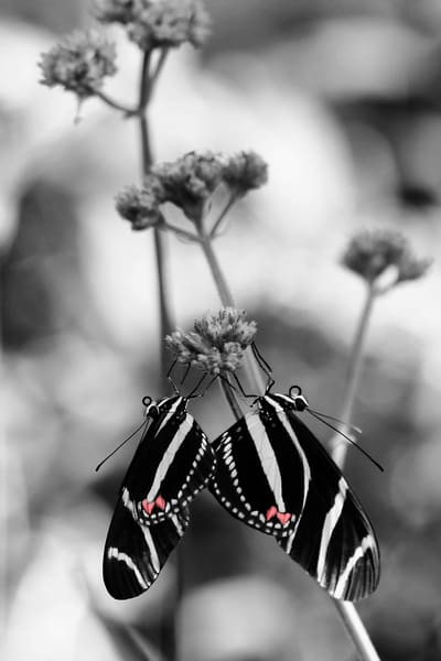 Purchase this interesting photograph of two butterflies with hearts on their wings in the mating process.