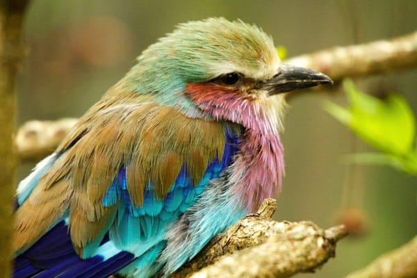 Purchase this photograph of an African Lilac Breasted Roller titled Bird of Many Colors