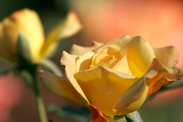 Purchase this photograph of a beautiful Yellow Rose with dew drops.