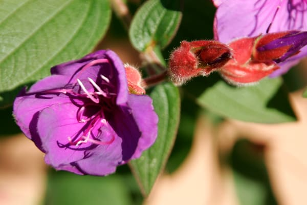 Purchase this photograph of Purple and Red Flowers.