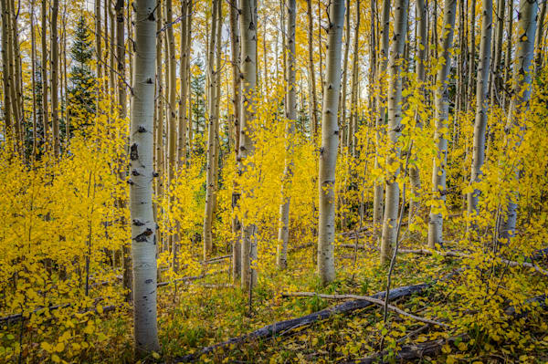 Aspens, Landscape, Photography, Sangre de Christo mountains, Santa Fe, Fall, New Mexico, Autumn