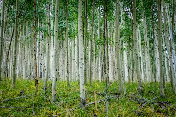 Aspens in Summer-