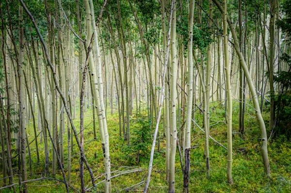 Aspens, Landscape, New Mexico, Photography, Southwest
