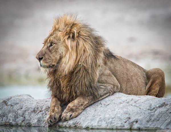 Lion at a waterhole in Etosha, Namibia.