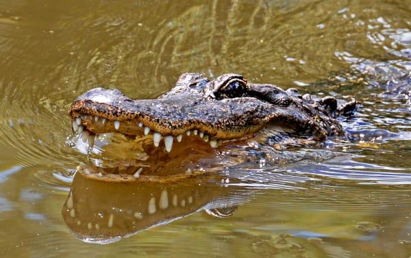 Alligator - Louisiana Swamp - so many teeth- photography - fine art print