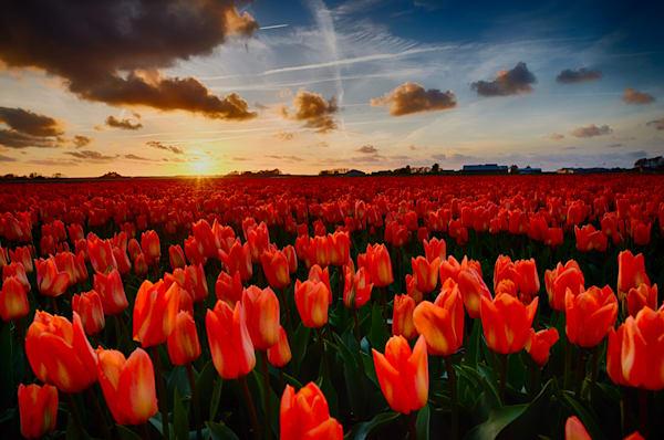 Field of orange tulips at sunset, Schagen, Netherlands.