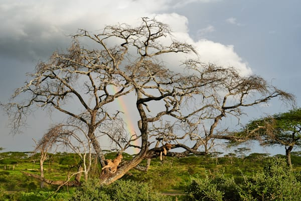 Three lion cubs relax in a tree in front of a rainbow.