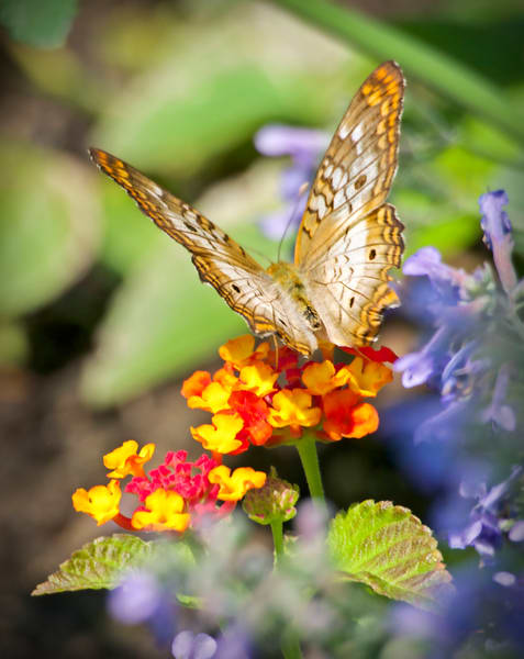 Colorful Landing Pad - butterfly - fine art prints - photography by JP Sullivan