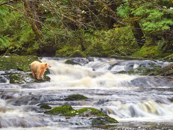 A spirit bear scans for fish at a small waterfall on Gribbell Island, BC.