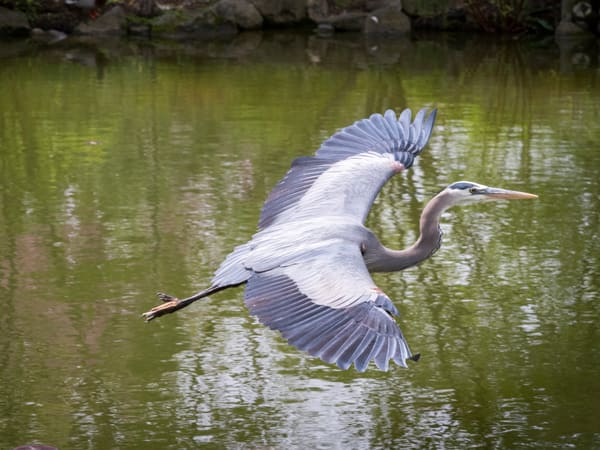A Grey Heron Wingspan - fine art prints - photography  by JP Sullivan