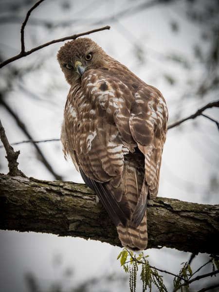 Curious Coopers Hawk stares - fine art photography prints