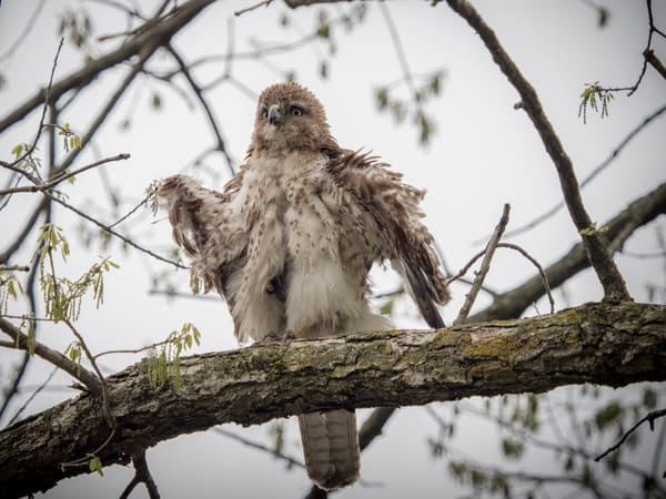 a young Coopers Hawks shaking his feathers - JP Sullivan Photography - fine art aluminum prints