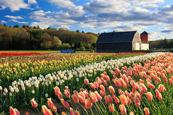 """Wicked Tulips"" Rhode Island Spring Flowers Fine Art Photograph"