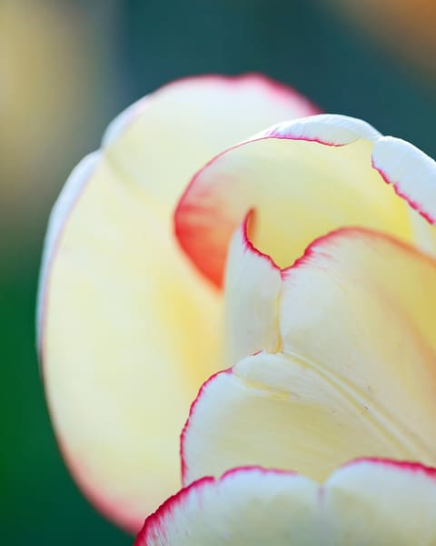 """Macro Tulip II"" Fine Art Vertical Yellow Botanical Flower Wall Art"