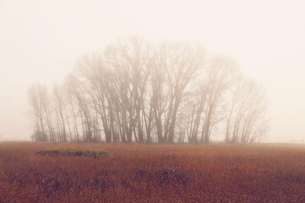 Cluster of cottonwoods on a foggy autumn day along the Gallatin River in Bozeman, Montana