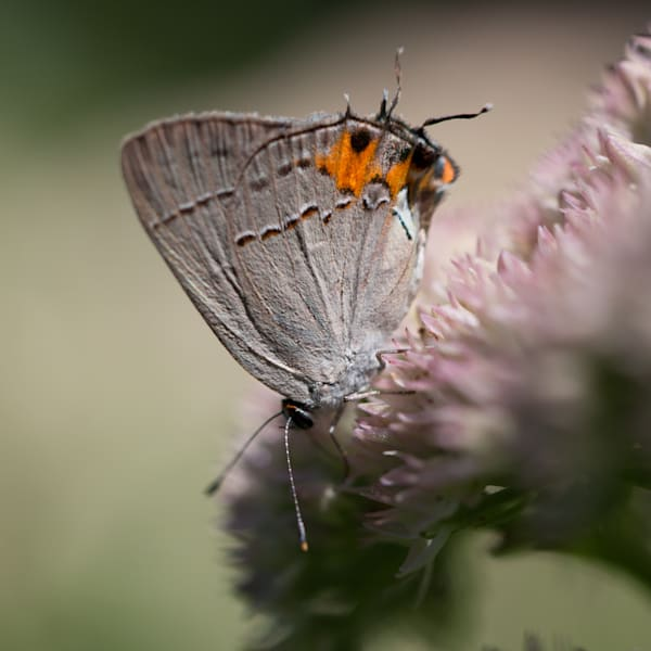 Hoary Gray Butterfly on Sedum
