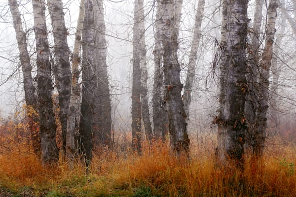 Cottonwoods on a foggy day along the Gallatin River in Bozeman, Montana with autumn colors