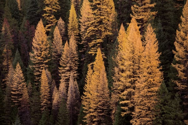 Tamaracks in the Malheur National Forest turned orange in autumn