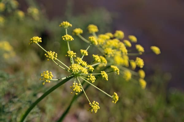 Photograph of yellow desert parsley