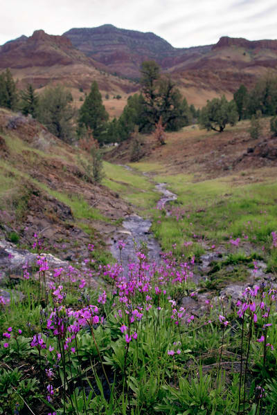 Photograph of shooting star wildflowers along ephemeral creek