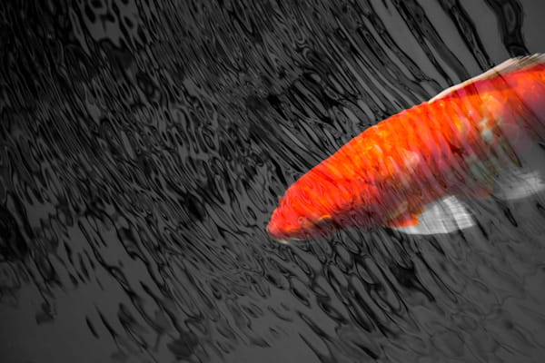 Koi by Matt Jenkins | SavvyArt Market Photography