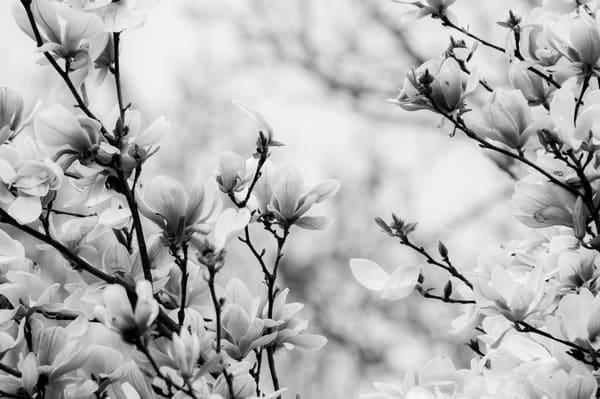 Magnolias B&W by Matt Jenkins | SavvyArt Market photography