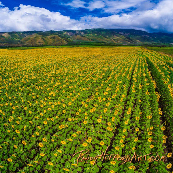 Maui Sunflower Fields