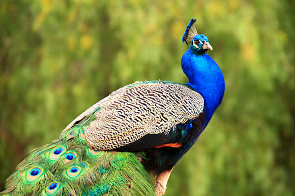 Birds, colorful, Peacocks, Peafowl,