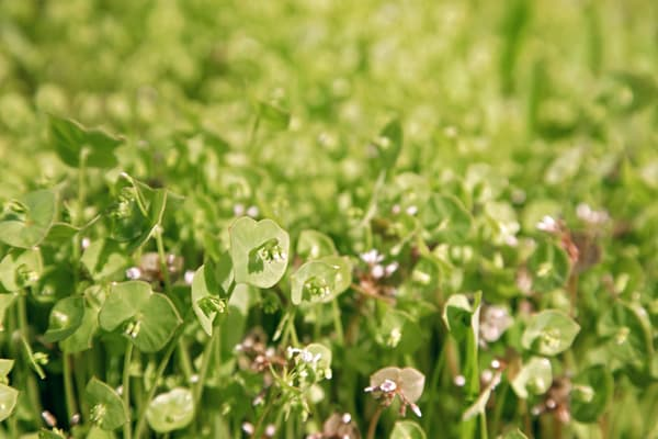 Photograph of Miner's Lettuce with green blurred background