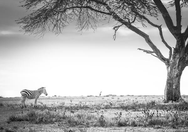 Stunning Black and White Zebra and Tree photo