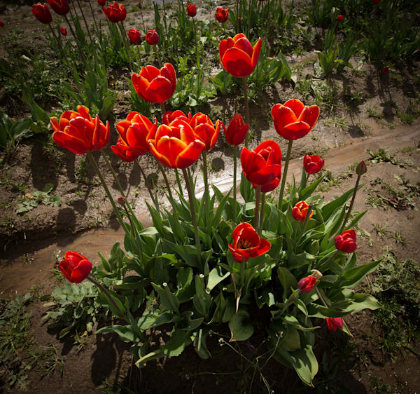 red tulips after rain