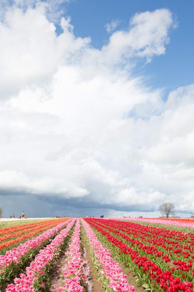 Tulip fields Blue Sky