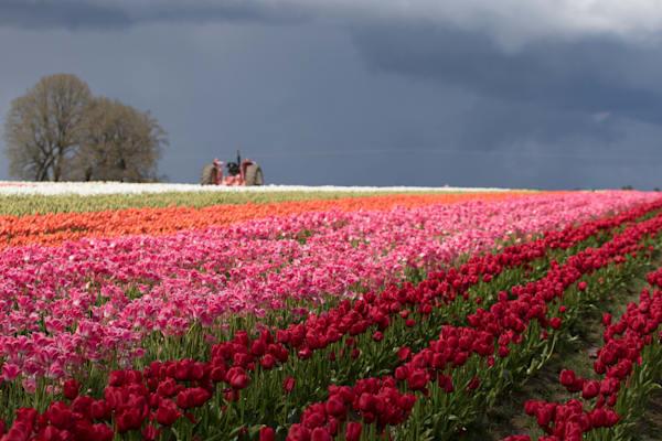stormy Tulip Fields