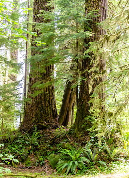 Olympic National Forest - ferns & firs