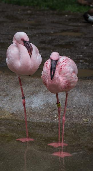 Moody Flamingo  Fine Art Photo for sale   Barb Gonzalez Photography