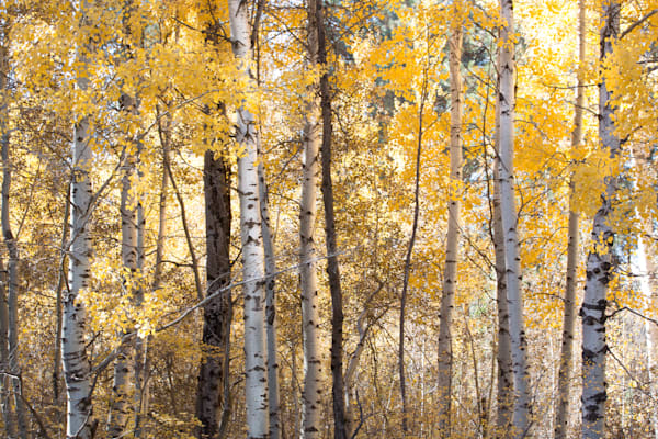 Golden Aspen Forest Photo for sale | Barb Gonzalez Photography