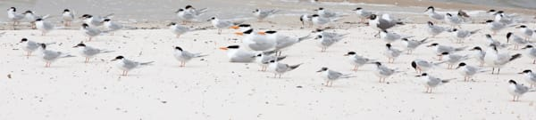 Terns In Wind Photography Art   Barb Gonzalez Photography