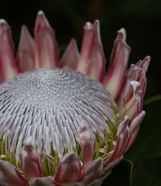 Beautiful closeup flower photo of Protea for sale