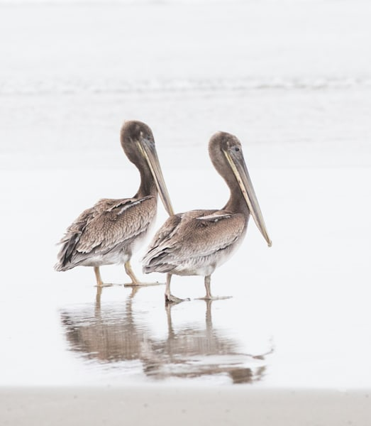 Pelican Duo Photography Art | Barb Gonzalez Photography