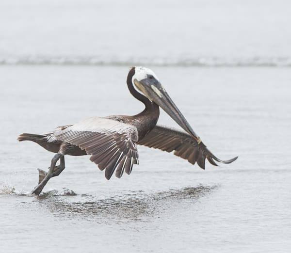 Brown Pelican takeoff photo