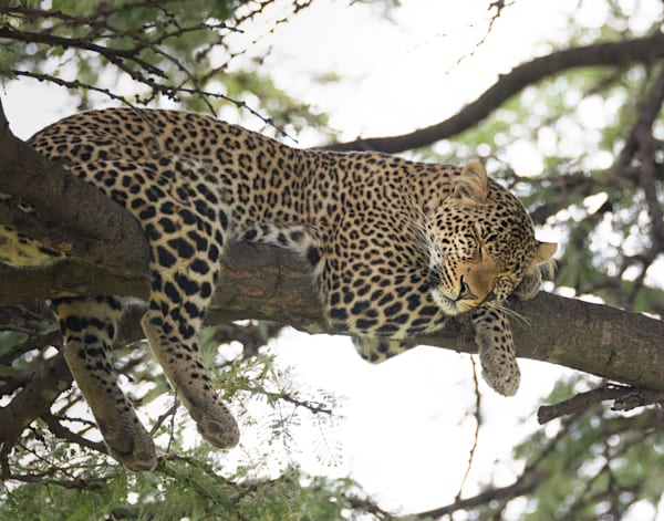 Sleeping Leopard Photography Art | Barb Gonzalez Photography
