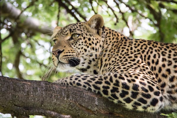 Leopard In Tree Photography Art | Barb Gonzalez Photography
