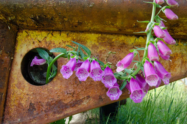 foxgloves rusty truck