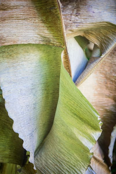 Abstract photo of banana leaves for sale
