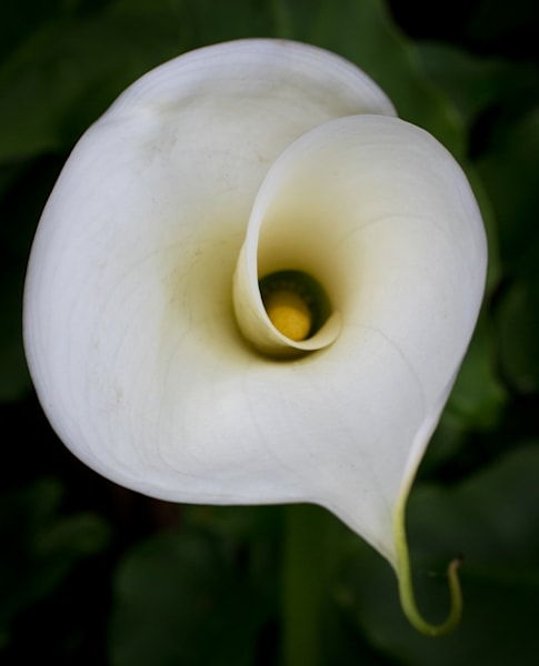 Curling Calla Lily Photography Art | Barb Gonzalez Photography