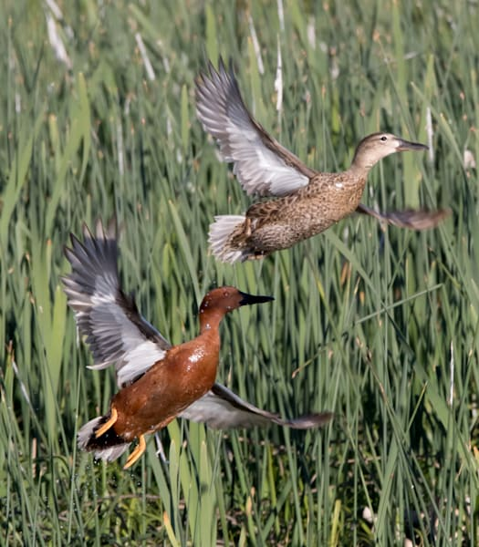 Cinnamon Teal Duck Pair Take Off Photo
