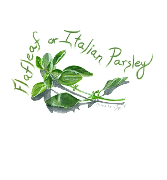 watercolor painting of flat parsley