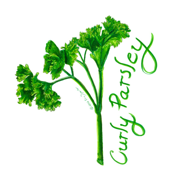watercolor painting of Curley parsley