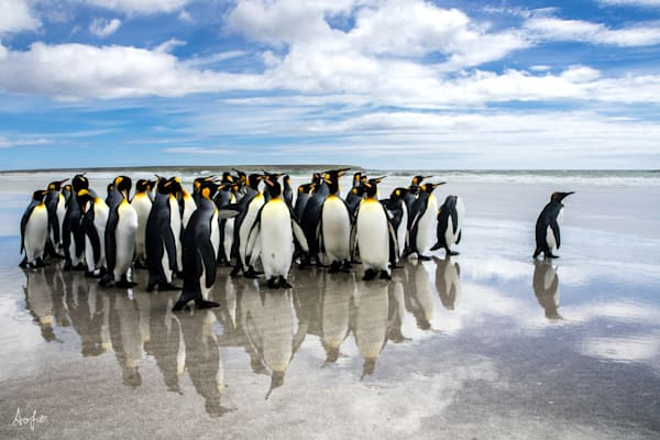 A waddle of King penguins on the beach